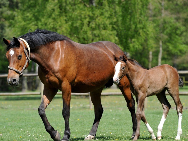 Breeding mares